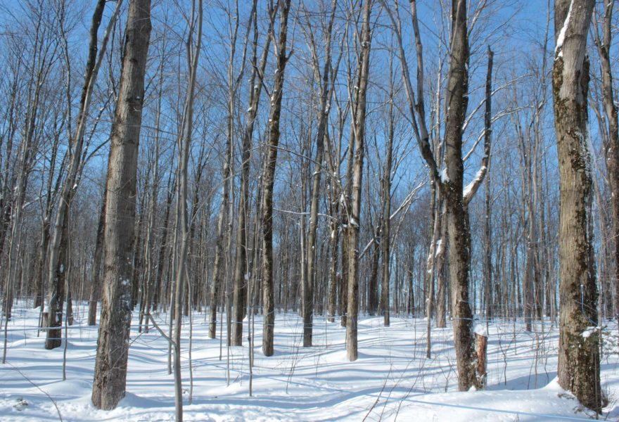 Qubec's maple forests provide cleaner air and have positive impact on climate besides providing maple